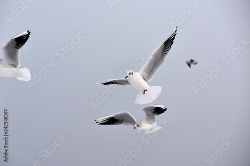 Foto Murales Flying seagulls in the winter afternoon