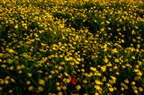 Yellow Daisy Close-up Photography Macro