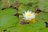 White Water lily and LIly Pads - 242558705