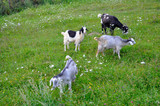 Four goats are grazing in the green field. - 242562926