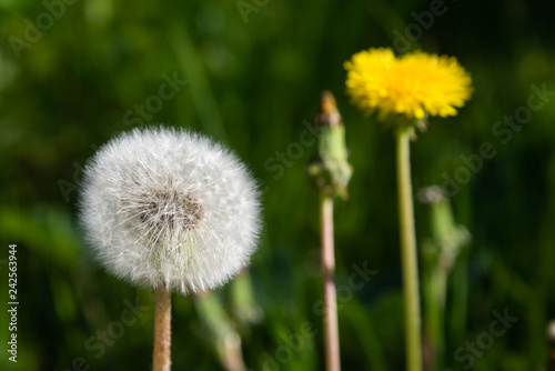 dandelion on background of green grass - 242563944