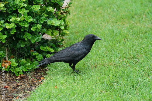 Foto Murales A wet raven stands in the grass.