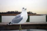Seagull  Strutting on a Car Hood -1