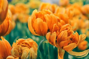 vivid orange tulip flower blooming in garden, in soft focus