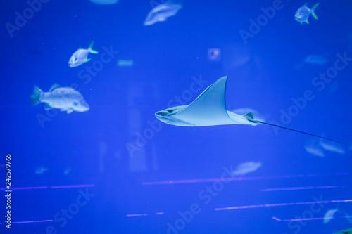 Leinwandbild Motiv large saltwater aquarium with stingrays and different fish. wildlife under water