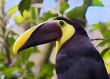 Yellow-throated toucan (Ramphastos ambiguus), portrait in the rain forest, Alajuela, Costa Rica - 242585377