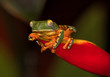 Super tiger-leg monkey tree frog (Phyllomedusa tomopterna) climbing strelicia flower at night, Alajuela, Costa Rica