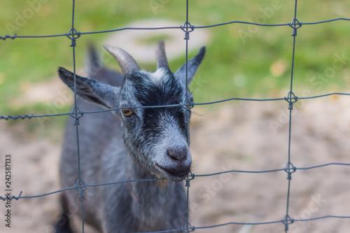 Obraz na płótnie Goat in the zoo