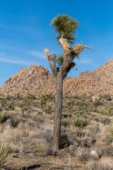 Joshua Tree © Charlotte