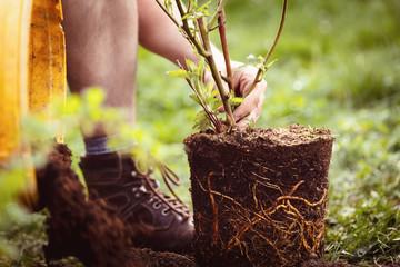 Gartenarbeit anpflanzen oder einpflanzen von Topfpflanze in den Garten