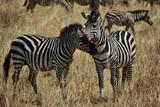 Fototapeta Fototapeta z zebrą - Two zebras nuzzling in the Serengeti © Andy