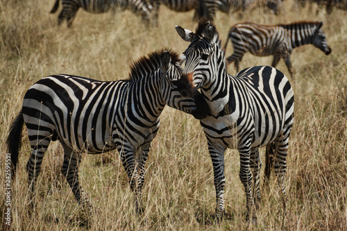 Two zebras nuzzling in the Serengeti - 242595591