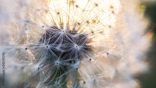Dandelion macro shots with the setting sun in the background - 242595792