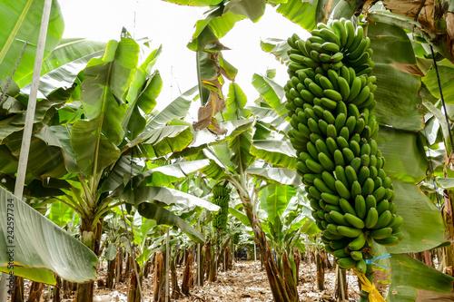 Foto Murales Banana Plantation Field Banana tree