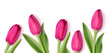Decorative pink tulips isolated on white background. Spring design template with flowers. Vector illustration.