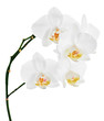 Orchids flowers on banch isolated on white background.