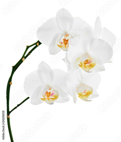 Orchids flowers on banch isolated on white background. - 242616138