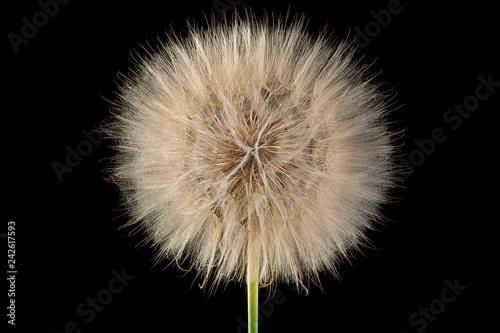 dandelion flower on black background - 242617593