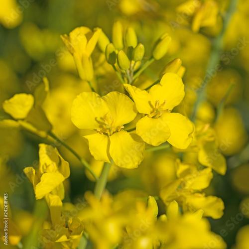 Blühender Raps, Brassica napus