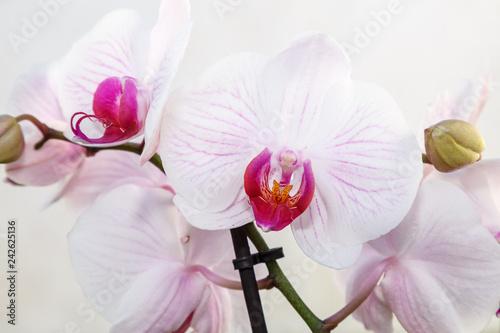 Orquídea phalaenopsis. Flores blancas con tonos rosa y púrpura. Orquídea mariposa. - 242625136