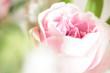Leinwanddruck Bild - sweet pink rose flower with bokeh, shallow depth of field