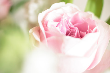 sweet pink rose flower with bokeh, shallow depth of field