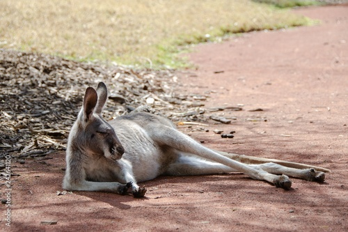 Poster kangaroo on beach