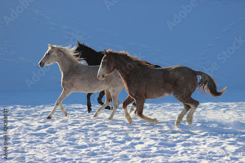 in the snow galloping horses of a thoroughbred Arabian breed and American curly