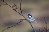 Tannenhäher vor Herbstlaub - 242646704