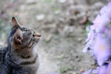 Cute brown tabby kitten sitting in the garden, surrounded with pink flowers. Selective focus.