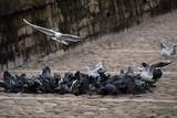 Mouettes et pigeons sur les berges du Rhône