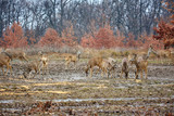 Roe deer and bucks