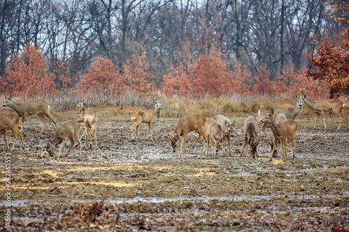 Roe deer and bucks