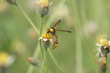 Yellow Potter Wasp sucks flowers in spring