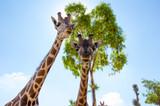 Giraffa - 242668978