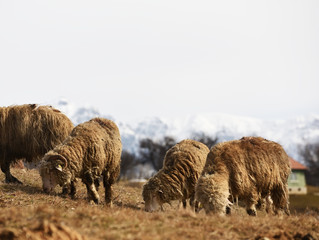 Sheeps graze in the spring meadows among the mountains.