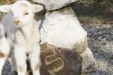 agneau - 242677524