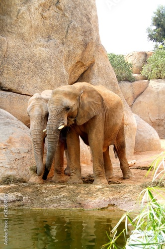 Obraz na płótnie  elephant, animal, mammal, wildlife, nature, trunk, wild, baby, big, valencia, elephants, large, family, zoo, animals, ears,