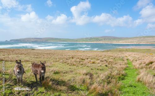 donkeys in Ireland