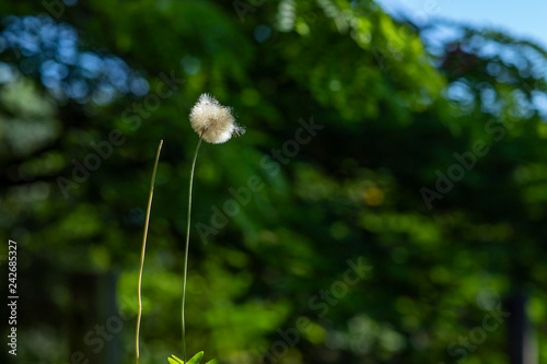 Dandelion seeds in the green background. Detail of the silhouette.  - 242685327