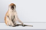 Cute Monkey animal Isolated over white background - 242687796