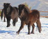 little pony horses running and playing in the snow together - 242691132