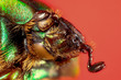scarabée vert et marron (Calomacraspis haroldi)