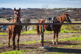 Fototapeta Konie - Two saddled horses standing on meadow © eugenesergeev