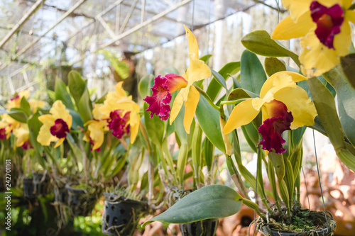 Yellow orchids growing in pots in a garden. Cultivation of orchids.