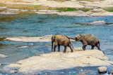 young elephants crossing the river