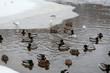 Wild ducks on frozen riverside