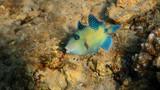 Blue Triggerfish - Pseudobalistes fuscus, Red Sea - 242718128
