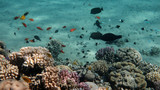 Coral Reef Life Scene, Red Sea, Egypt