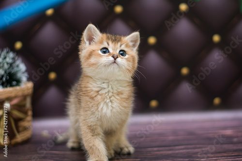 obraz lub plakat kitten cat Scottish straight, loose fluffy, animal munchkin